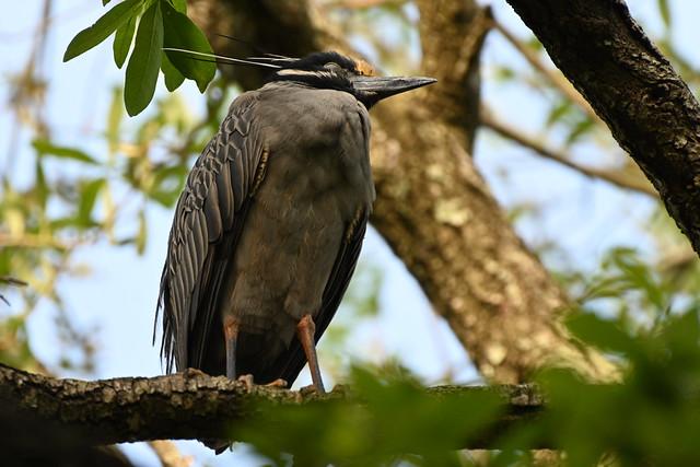 Night Heron Pair 2020 NZ7_0274