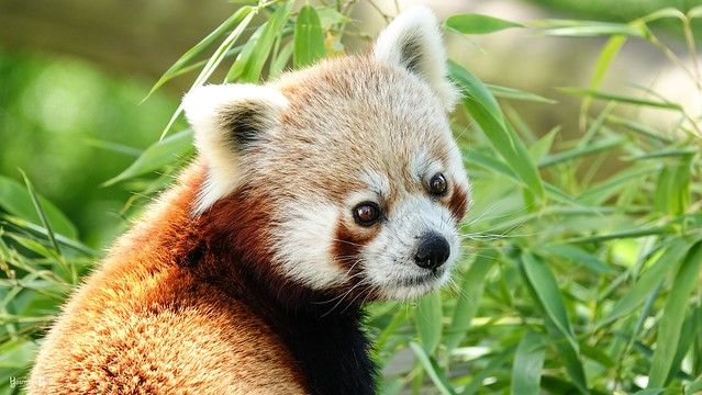 Red Panda - 8244