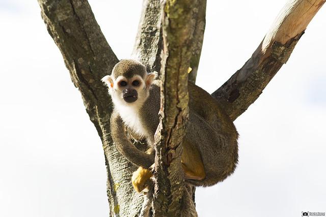 SUJET | Chimpanzé