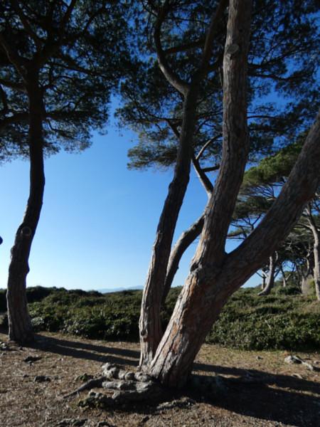 les pins de l'île