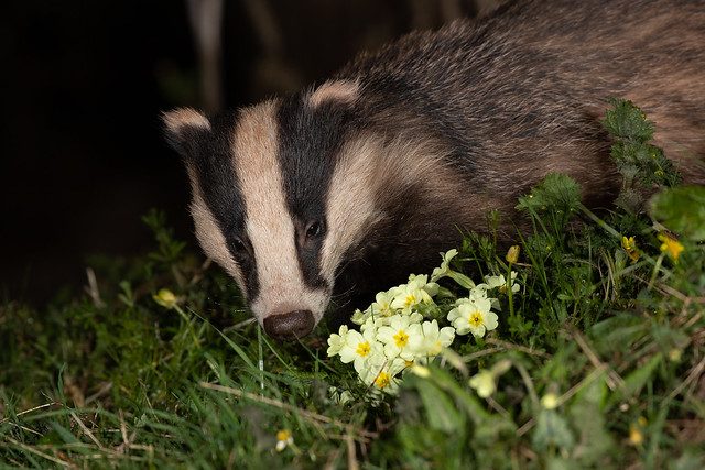 Badger sniffing about some primroses
