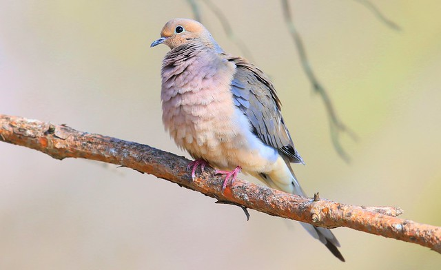 mourning dove at Lake Meyer Park IA 653A1834
