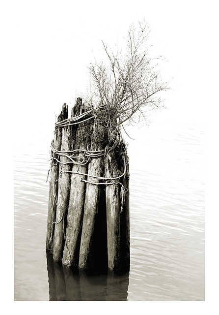 pilings (and determined shrub)