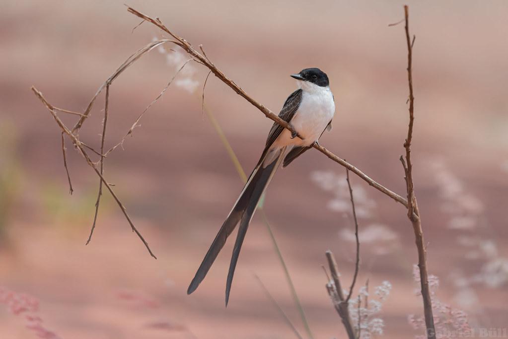 Fork-tailed Flycatcher - tesourinha (Tyrannus savana)