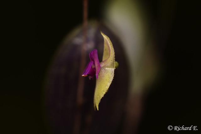 Lepanthes acarina Luer