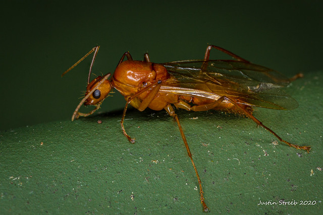 Camponotus Castaneus Drone