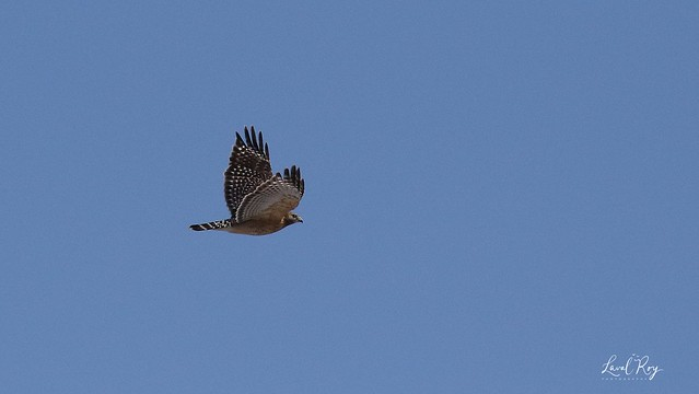 1.02845 Buse à épaulettes / Buteo lineatus lineatus / Red-shouldered Hawk