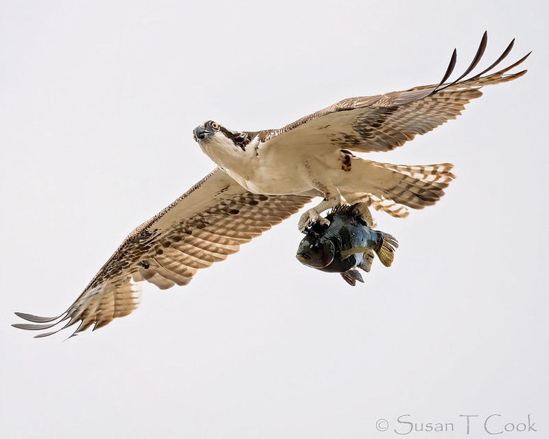 Osprey with fish by Sue Cook