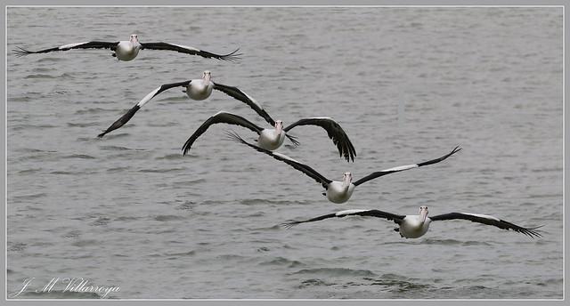 GH6A1099Cvm - Australian Pelican - (Pelecanus conspicillatus)