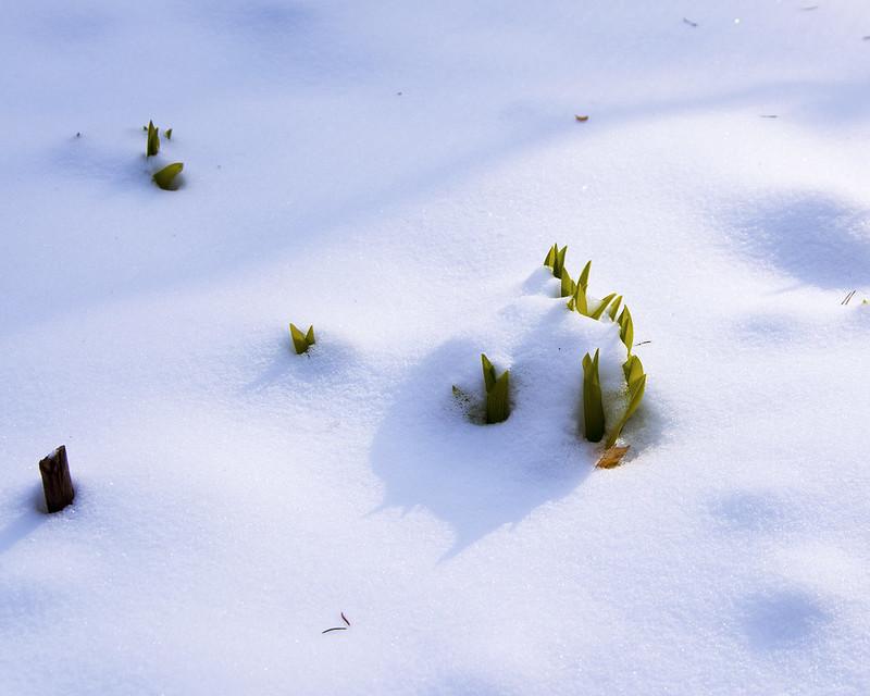 Лилии под снегом.
