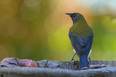 Bellbird - today's visitor to the garden