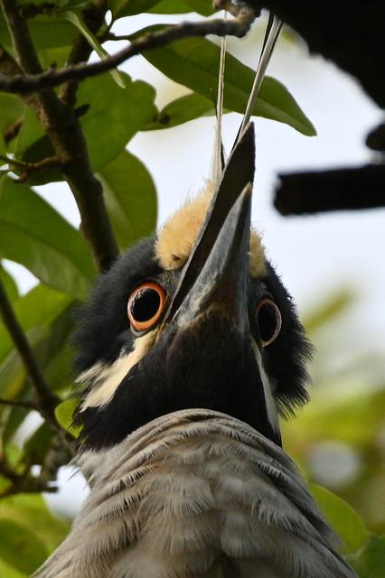 Night Heron Pair 2020 NZ7_0279