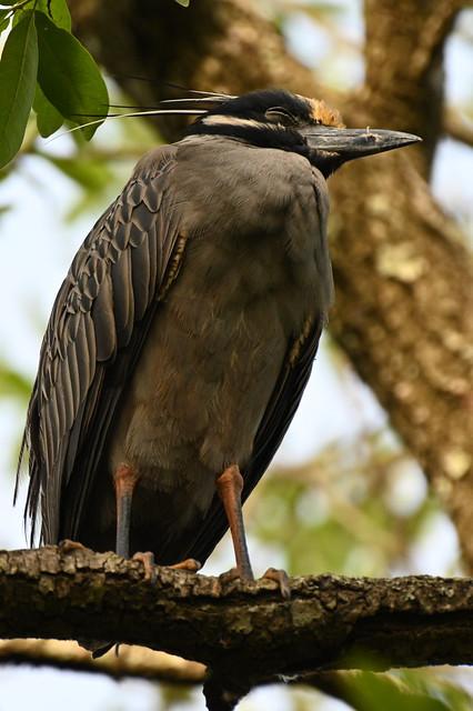 Night Heron Pair 2020 NZ7_0277