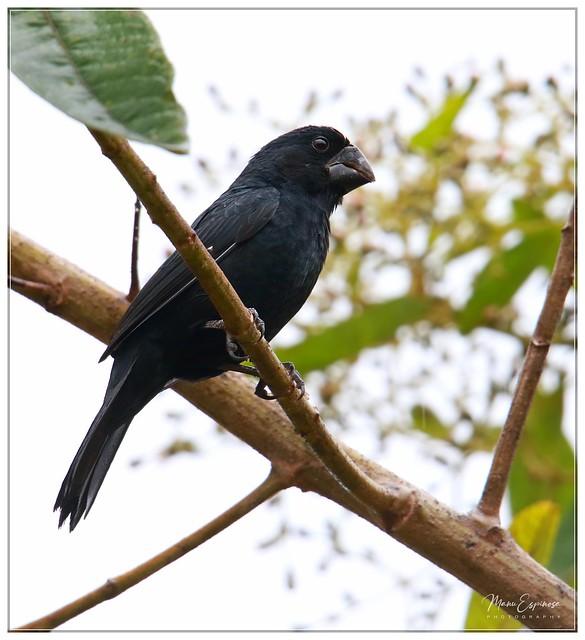 Semillero Piquinegro, Oryzoborus atrirostris, Black-billed seed finch. Cumbaratza, Zamora, Ecuador