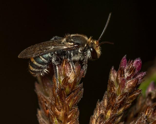 Male Nomia Bee at dawn - NSW