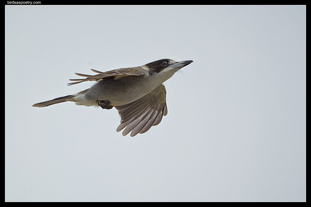 Grey Butcherbird: Fly by