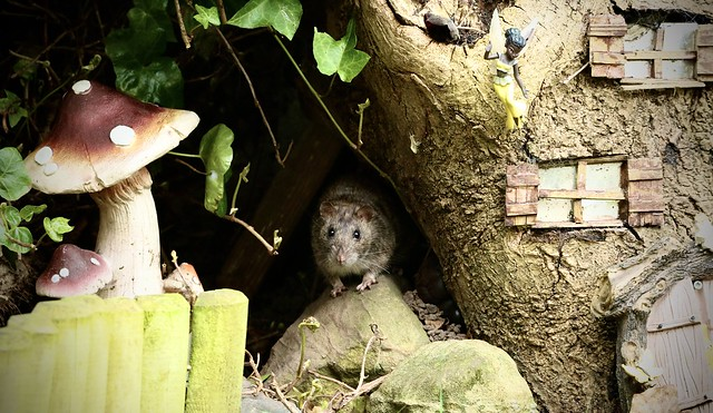 brown rat checking out the fairy house