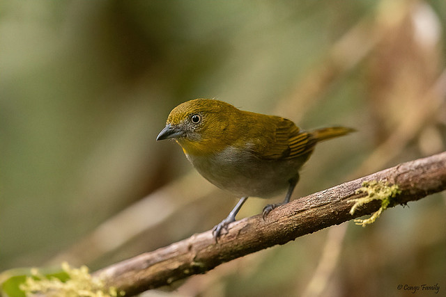 Yellow-throated Chlorospingus (Bush-Tanager)