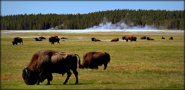 The Herd - Yellowstone Nationalpark, Wyoming [explored]