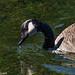 A big Canada goose.