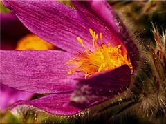 Blossom of a Pulsatilla vulgaris