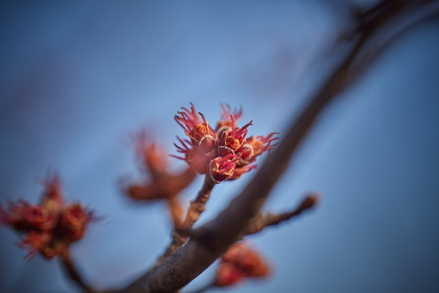 with trees, early spring buds, 3-24-20 2