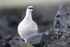 Rock Ptarmigan / Lagopède alpin