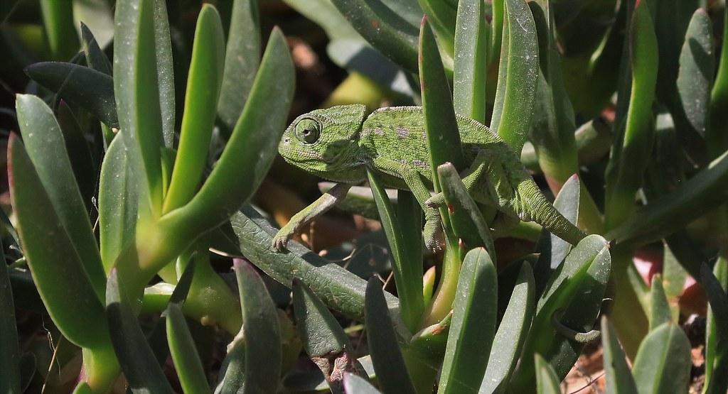 Mediterranean Chameleon in camouflage.