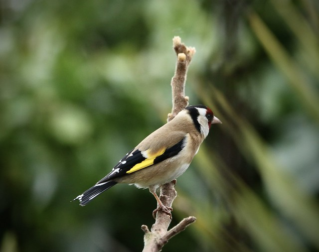 goldfinch on the Rhus tree