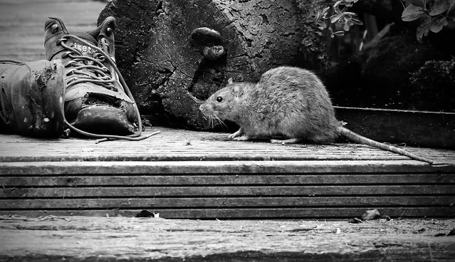 big rat checking out my old work boots
