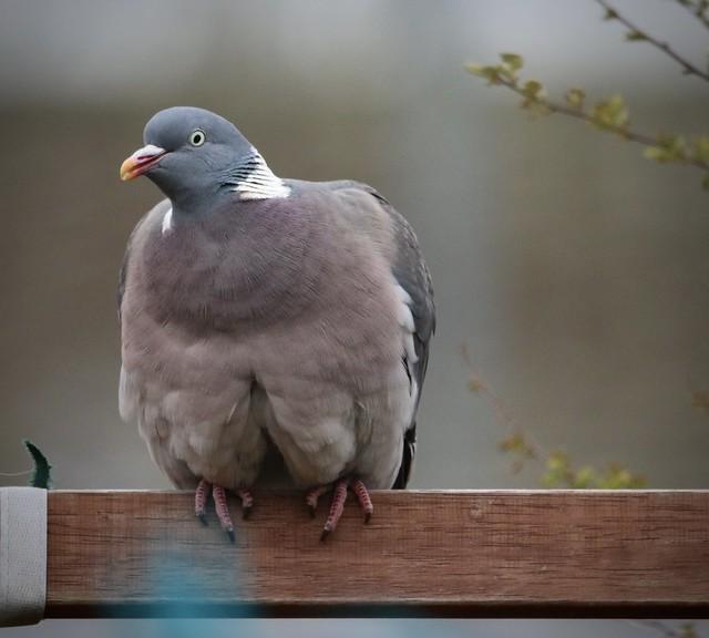 wood pigeon on the gaeden swing