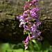 Hohler Lerchensporn (Corydalis cava)