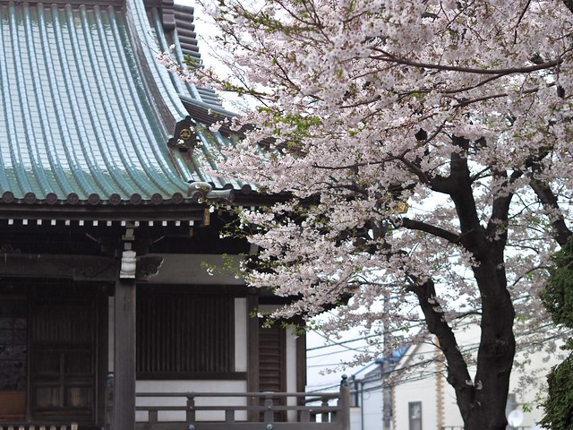 <strong>東光寺</strong>の桜🌸