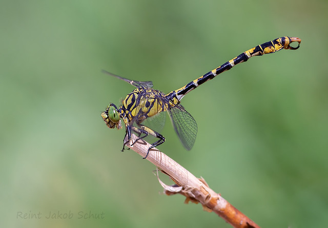 Kleine tanglibel - Small pincertail - Onychogomphus forcipatus