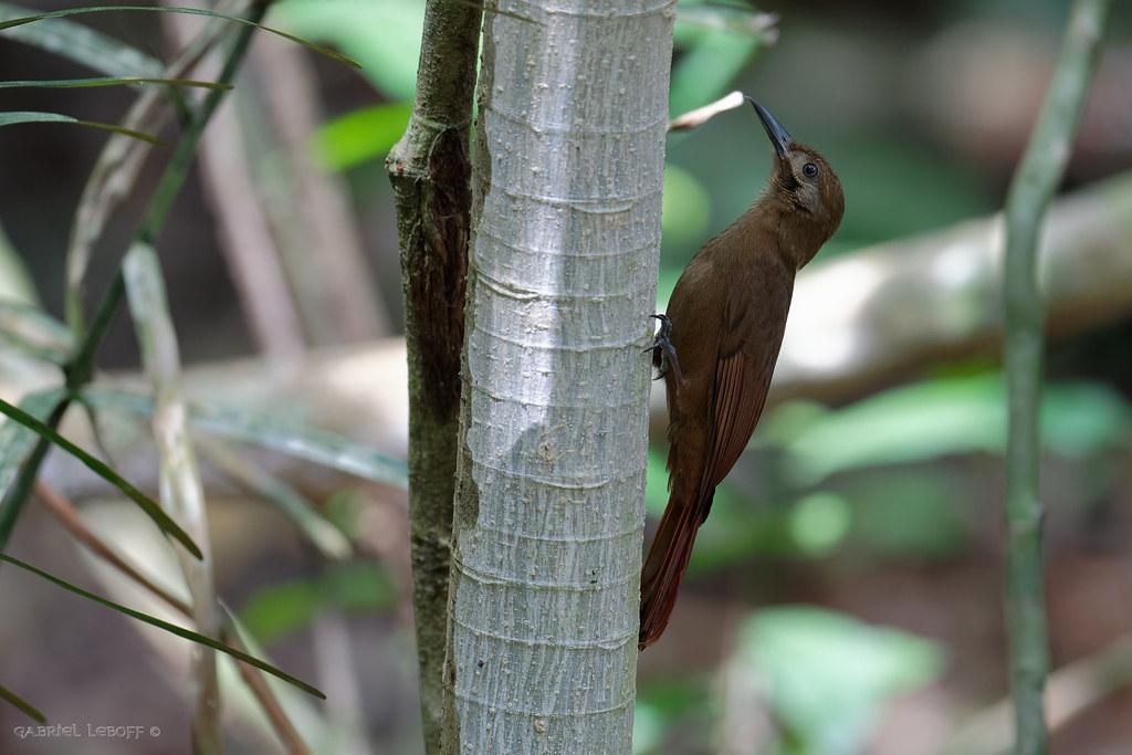 Grimpar enfumé Dendrocincla fuliginosa - Plain-brown Woodcreeper  4873_DxO