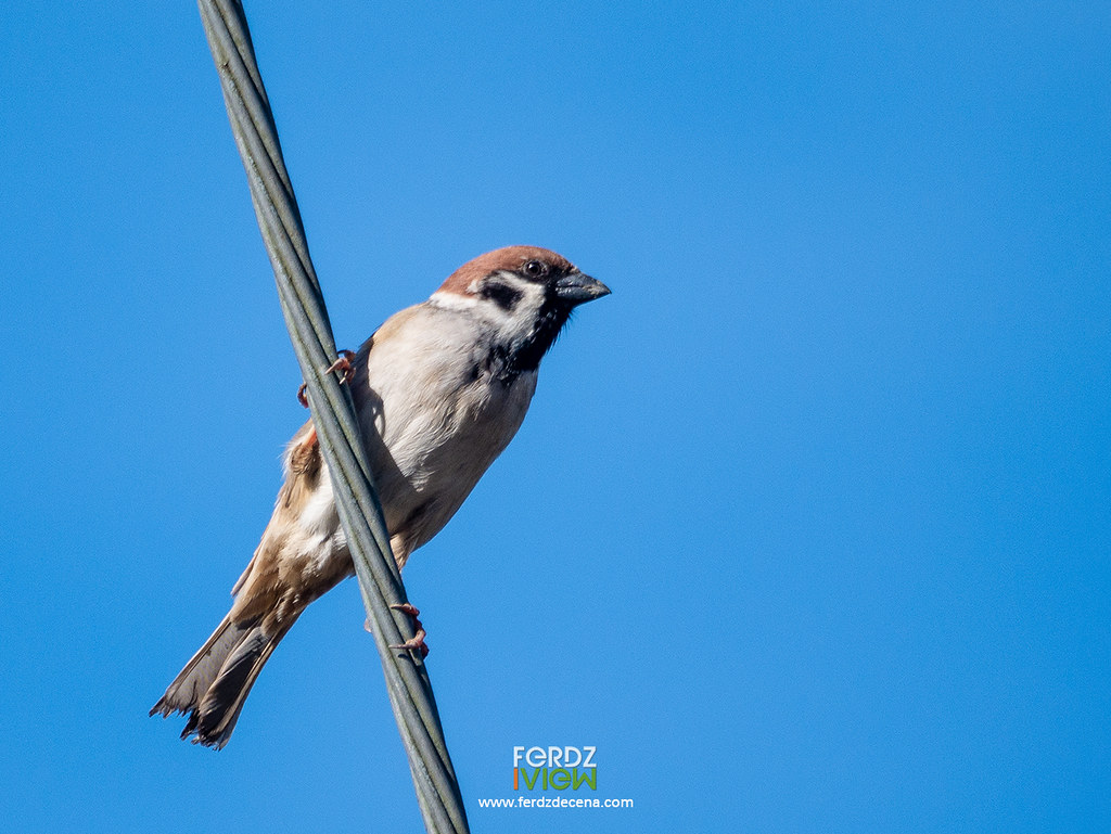 Eurasion Tree Sparrow