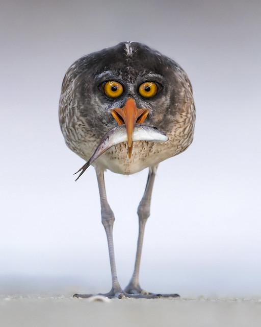 Bermuda Night Heron