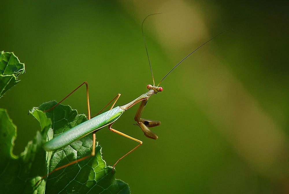 _mantis_