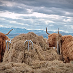 1. Aprill 2020 - 3:19 - One from the 'Once a day Exercise' with the dogs. Couldn't resist the cheeky highland cattle with the Lakeland fells as a backdrop.