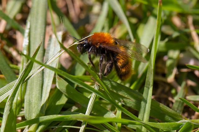 Tawny Mining Bee (Andrena fulva) female