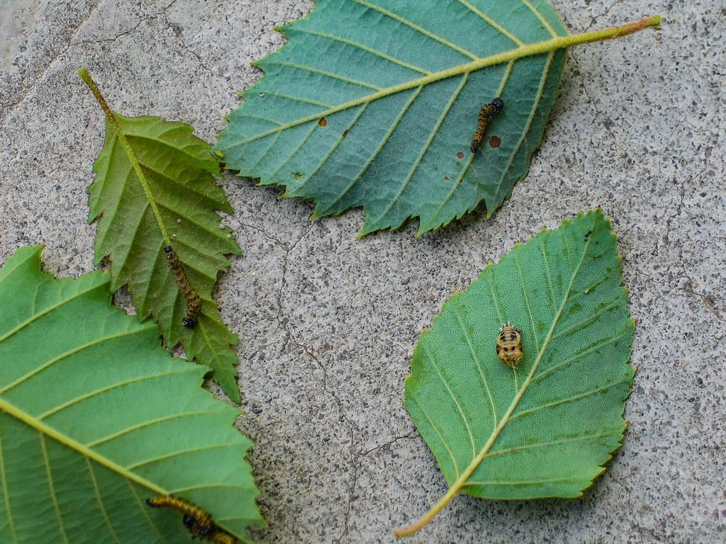 Eating Leaves 06