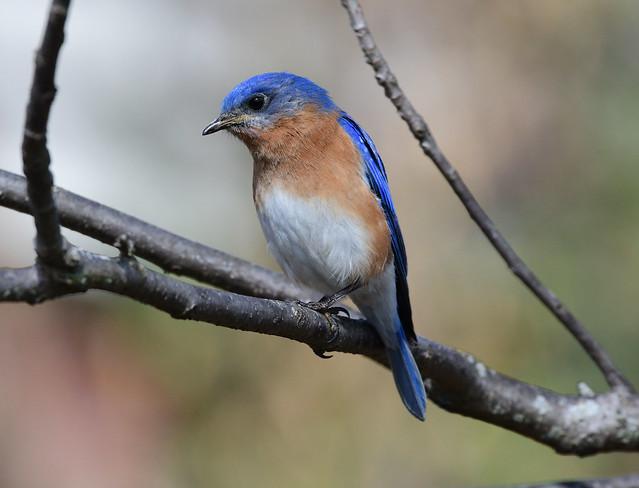 850_7971.jpg= Eastern Bluebird