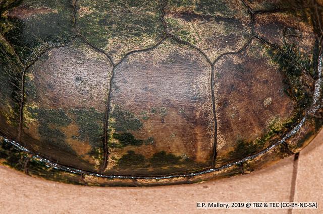 2020-03-22 TEC-0369 Tabasco Mud Turtle (Kinosternon acutum) - E.P. Mallory