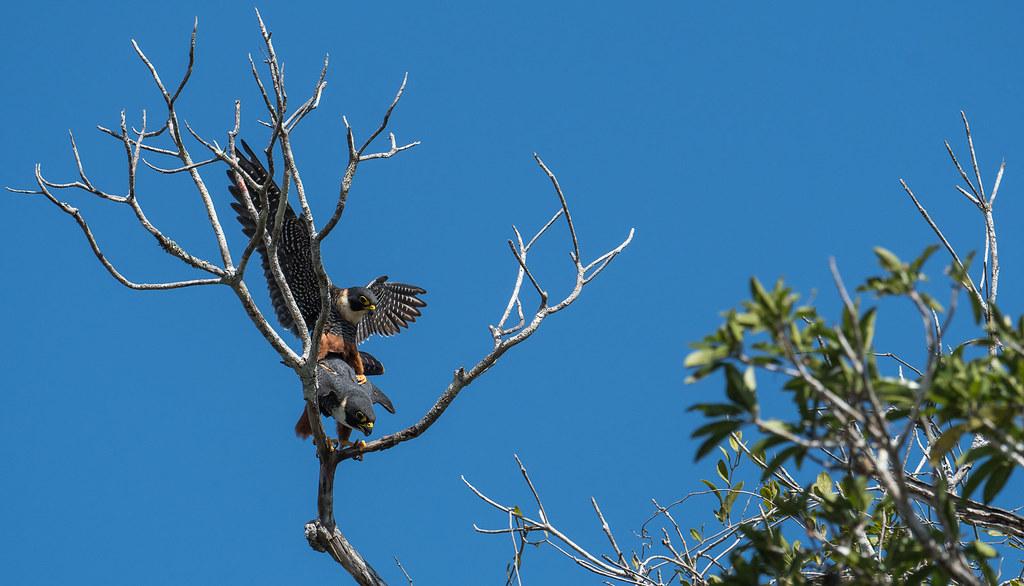 Bat Falcon, Faucon des chauves-souris, Halcón Murcielaguero / Falco rufigularis