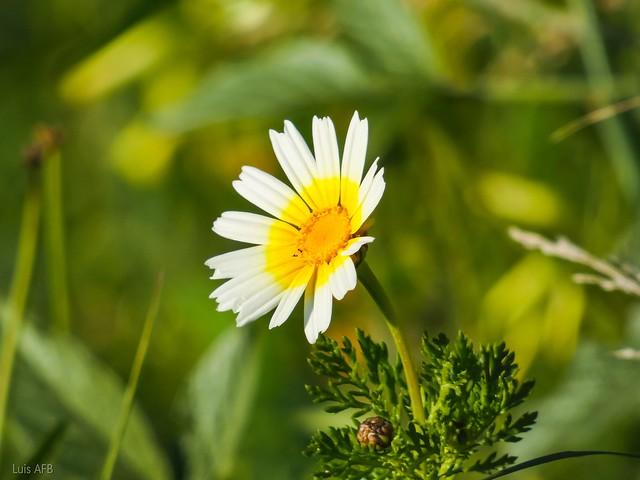 Daisy flower / Flor de la margarita