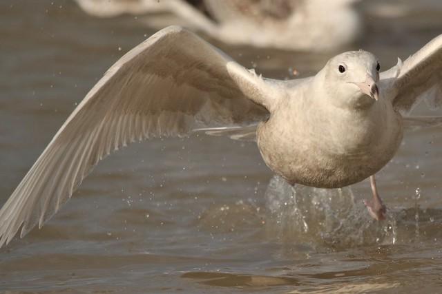 Glaucous Gull Larus Hyperboreus  juvenile.