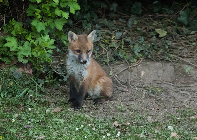 Fox cub - Vulpes vulpes