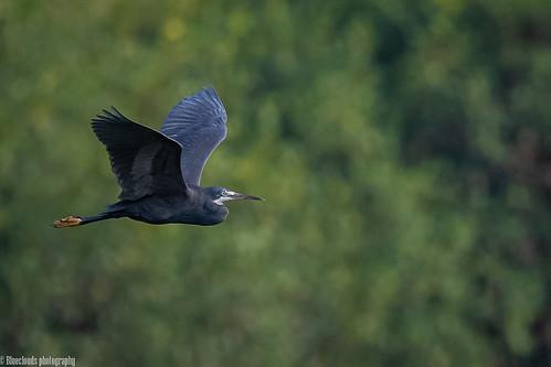 herons westernreef birds unilag lagos nikon d850 500 pf f56