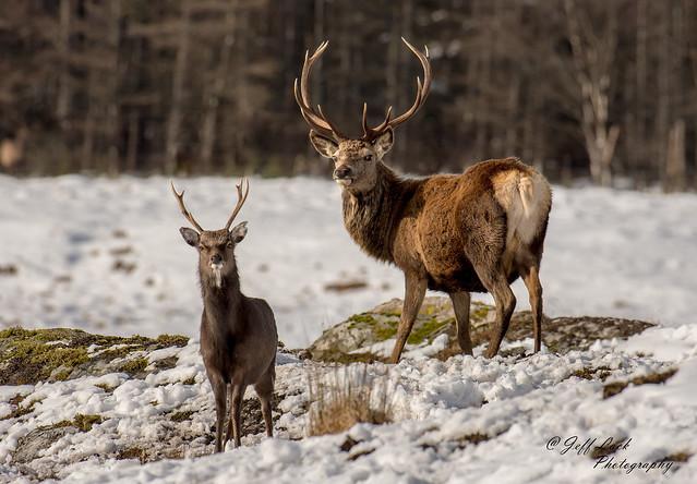 JWL4640  Red Deer...