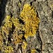 Lichen on an unknown tree in Eiranranta